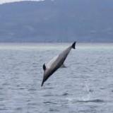 dolphin-spinner