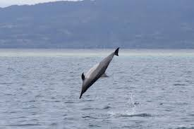 dolphin spinner